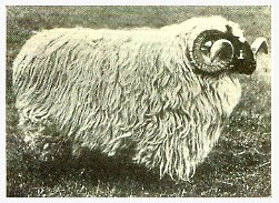 an introduction to the hill sheep farmers Skin parasites introduction  it is the duty of sheep farmers, shepherds or anyone who has charge of sheep to identify sick or injured animals promptly and to give .