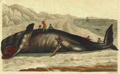 Blubber sperm whales 1800s